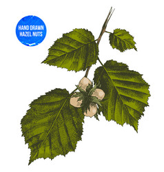 hand drawn hazelnut on branch vector image vector image