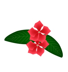 Cape periwinkle flowers or madagascar periwinkle vector