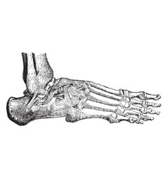 Ligaments and hinge joint of the ankle vintage vector