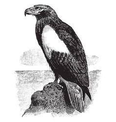 Steller sea eagle vintage vector