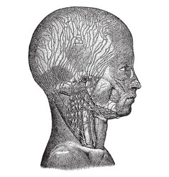 Lymphatics of the head and neck vintage vector