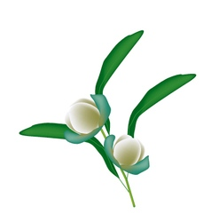 Two Magnolia Coco Blossoms on White Background vector image