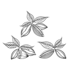 Cacao beans engraved vector