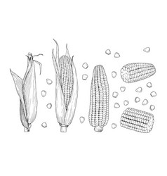 corn sketch sweet botanical plant isolated vector image