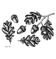 Set hand drawn black and white oak vector