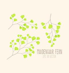 Set maiden hair fern leaves vector