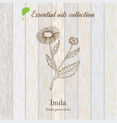 Inula essential oil label aromatic plant vector