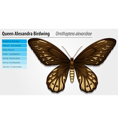 Queen Alexandras birdwing vector image