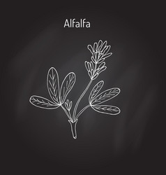 alfalfa medicago sativa vector image