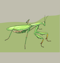 praying mantis hand drawn vector image vector image