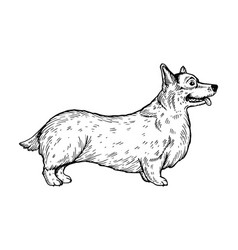 Welsh corgi dog engraving vector