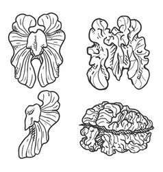 sketch set walnuts vector image