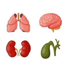 Internal organs vector image