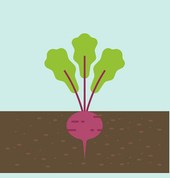 beetroot vegetable with root in soil texture flat vector image