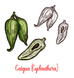 Cyclanthera pedata vegetable or fruit sketch vector