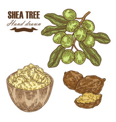 Shea tree branch nuts and shea butter isolated on vector