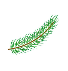 Flat spruce tree branch isolated vector