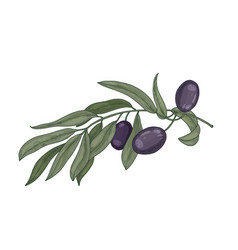 detailed botanical drawing of olive tree branch vector image