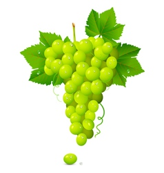 White Grapes vector image
