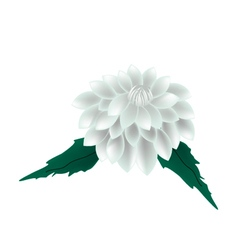 White Dahlia Flower on A White Background vector image vector image
