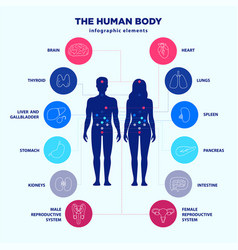 Human body infographic elements male and female vector