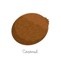 coconut exotic fruit isolated vector image