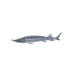 Gray atlantic sturgeon predatory fish marine vector