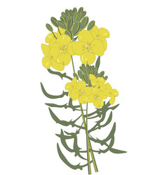 Mustard flowers isolated vector