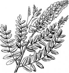 plant sophora vector image