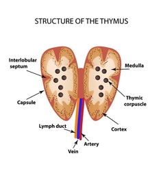Structure of the thymus gland Infographics vector image
