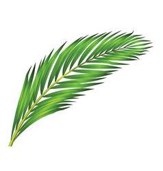 Green leaf of palm tree isolated on white vector