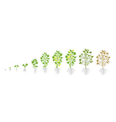 Growth stages cotton plant plant increase vector