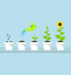 the process of sunflower growth staps of plants vector image