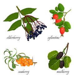 Blue elderberry ripe eglantine fresh seaberry vector