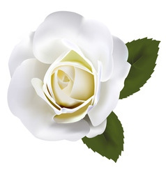 beautiful white rose with gre vector image vector image