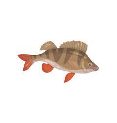 Ruffe fish with spiny fins predatory marine vector