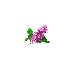 blooming lilac flower vector image
