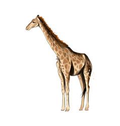 Giraffe from a splash watercolor colored vector