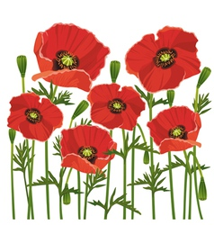 Flowers poppies isolated on white background vector image vector image