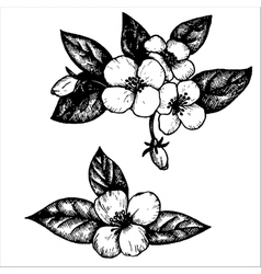 Jasmine flowers vector