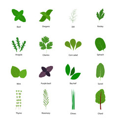 set culinary herbs vector image