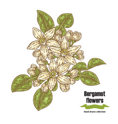 bergamot branch with flowers and leaves hand vector image