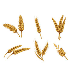 Golden wheat ears and grains realistic set vector