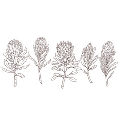 Set king protea linear sketch isolated vector