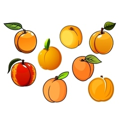 Isolated orange sweet apricots fruits vector image vector image