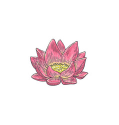 lotus - hand drawn pink water vector image