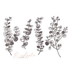 set hand drawn eucalyptus vector image