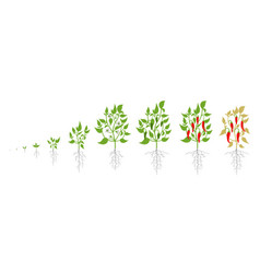 Growth stages red chili pepper plant vector