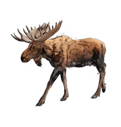 Moose from a splash watercolor colored drawing vector