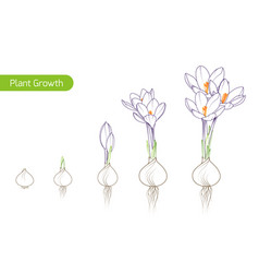 Spring flower evolution process bulb sprout plant vector